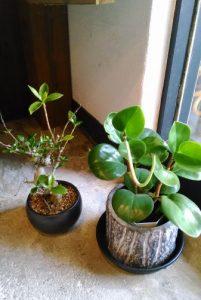 復活しつつある盆栽と長いものを伸ばしてきている植物